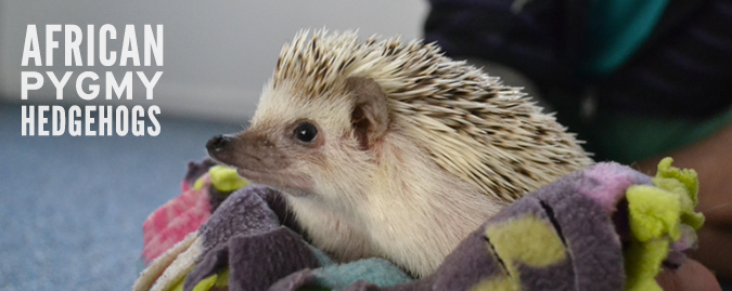 african pygmy hedgehog photo