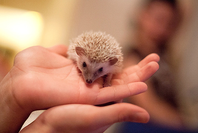 hedgehog price photo