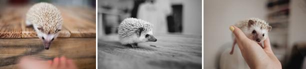pet hedghog bramble photo 3
