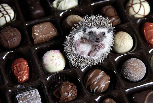 hedgehog pictures chocolate