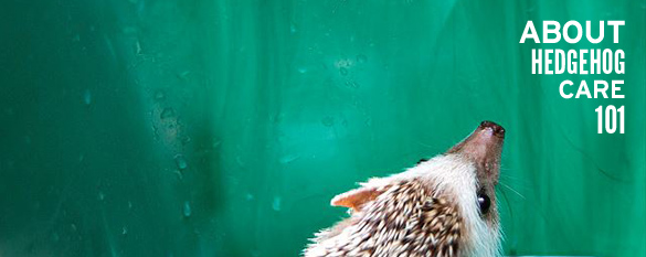 about hedgehog care 101 photo