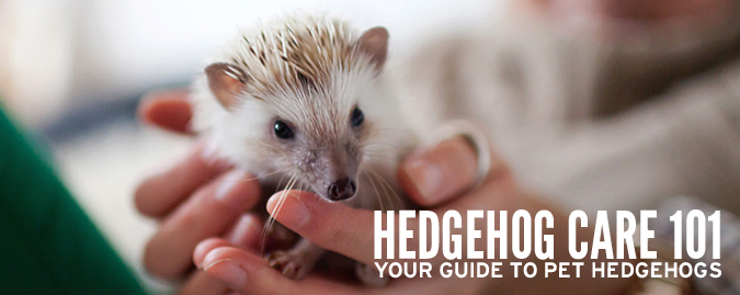 Welcome to Hedgehog Care 101 – Your Pet Hedgehog Guide