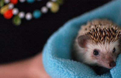 hedgehog care - grumpy acorn