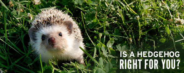 hedgehog right for you photo