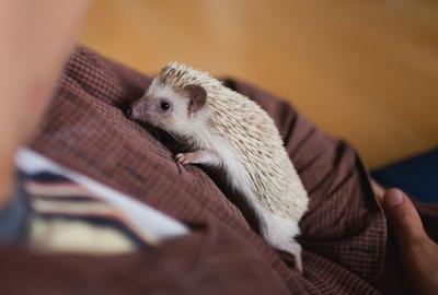 pet hedghog bramble photo
