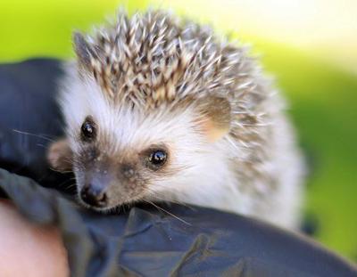 pet hedgehog care photo 1