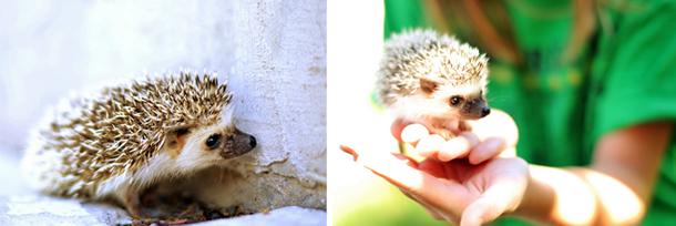 pet hedgehog care photo 3