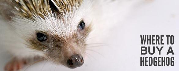 where to buy a hedgehog photo