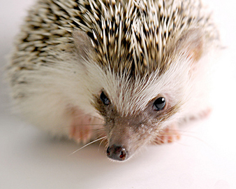 do hedgehogs make good pets photo