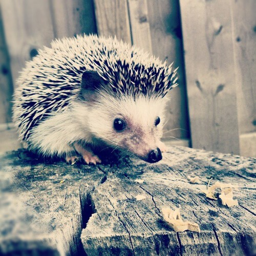 hedgehog pictures 1