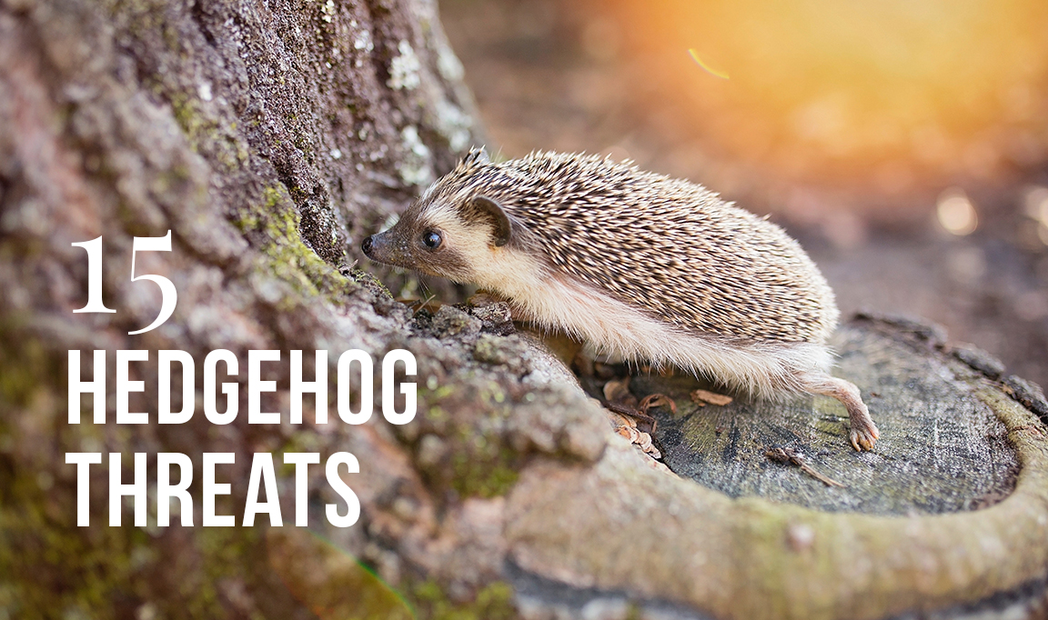 15 Hedgehog threats